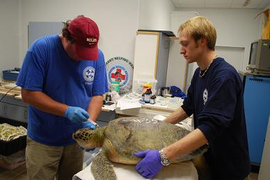 CMA volunteers work to rehabilitate a rescued sea turtle