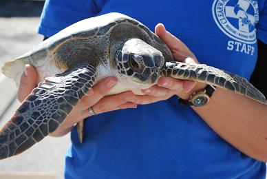 A sea turtle found locally