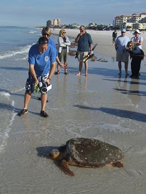 cCMA staff release Loggerhead Turtle JoJo on Clearwater Beach - Photo by Heidi Lux