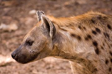 The spotted hyena - Photo by Ikiwaner, courtesy Wikipedia