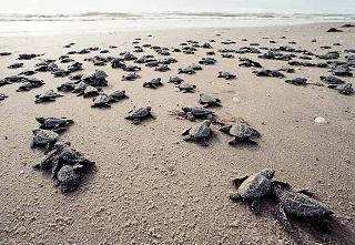 Baby Sea Turtle Hatchlings