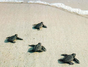 Sea Turtles on Clearwater Beach