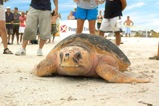 Sea Turtle Betsy was Released by the Clearwater Marine Aquarium