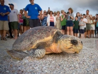 Sea Turtle Nesting Season Begins May 1st