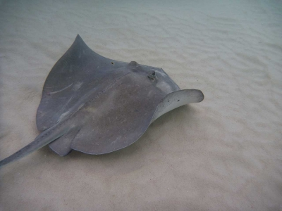 Stingray Season Has Started Early